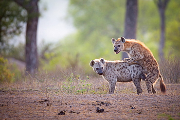 A spotted hyena male, Crocuta crocuta, mounts a female while mating, looking away, backlit, Londolozi Game Reserve, Sabi Sands, Greater Kruger National Park, South Africa