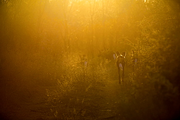 A pack of backlit wild dog, Lycaon pictus, walking away from camera, sun shine through trees and long grass, Londolozi Game Reserve, Sabi Sands, Greater Kruger National Park, South Africa