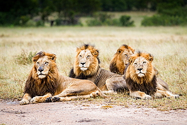 Three male lions, Panthera leo, lie on the ground in a line in a clearing, looking away, wet fur, Londolozi Game Reserve, Sabi Sands, Greater Kruger National Park, South Africa