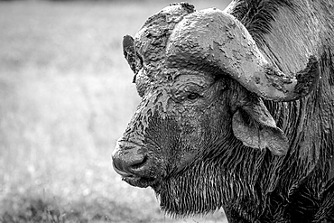 The head of a buffalo, Syncerus caffer, head covered in mud, wet fur, looking away, in black and white, Londolozi Game Reserve, Sabi Sands, Greater Kruger National Park, South Africa