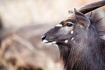 The side profile of the head of a male nyala, Tragelaphus angasii, ears up and perked, looking away, Londolozi Game Reserve, Sabi Sands, Greater Kruger National Park, South Africa