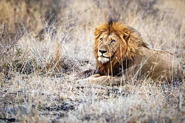 A male lion, Panthera leo, lies down in dry brown grass, direct gaze over shoulder, thick mane, Londolozi Game Reserve, Sabi Sands, Greater Kruger National Park, South Africa