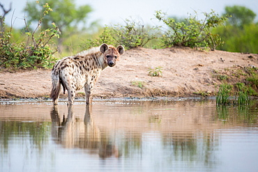 A spotted hyena, Crocuta crocuta, stands in shallow water, alert, bloody face, river bank in background, Londolozi Game Reserve, Sabi Sands, Greater Kruger National Park, South Africa