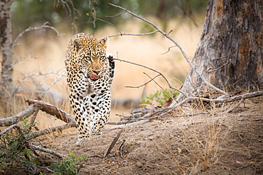 A leopard, Panthera Pardus, walks towards the camera, from raised leg, looking away, licking lips, Londolozi Game Reserve, Sabi Sands, Greater Kruger National Park, South Africa