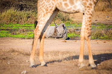 A white rhino, Ceratotherium simum, lies in a water pan in the background and is framed by the legs of a giraffe in the foreground, Giraffa camelopardalis, Londolozi Game Reserve, Sabi Sands, Greater Kruger National Park, South Africa