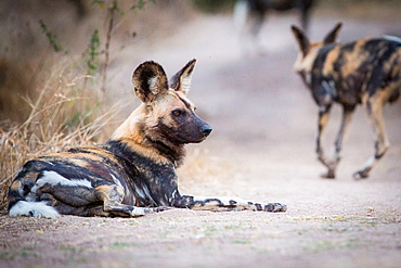 A wild dog, Lycaon pictus, lies on the ground, looking away, bloody face, ears perked, Londolozi Game Reserve, Sabi Sands, Greater Kruger National Park, South Africa