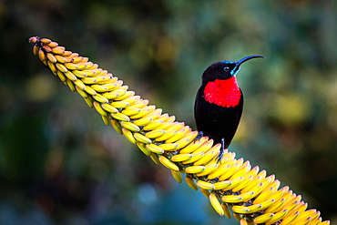 A scarlet-chested sunbird, Chalcomitra senegalensis, perches on a candelabra aloe flower, Aloe arborescens, looking away, Londolozi Game Reserve, Sabi Sands, Greater Kruger National Park, South Africa