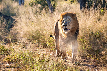 A male lion, Panthera leo, walks towards the camera, looking out of sight, mouth open, steam from mouth, long grass in background, Londolozi Game Reserve, Sabi Sands, Greater Kruger National Park, South Africa