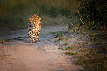 A leopard, Panthera pardus, walks towards the camera on a sand road, looking away, ears forward, Londolozi Game Reserve, Sabi Sands, Greater Kruger National Park, South Africa