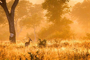 A backlit male impala, Aepyceros melampus, stands in tall sunlit grass, back to camera, looking away, trees in the background, Londolozi Game Reserve, Sabi Sands, Greater Kruger National Park, South Africa