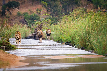 Three male lions, Panthera leo, walk through a shallow river, looking away, walking towards camera, surrounded by greenery, Londolozi Game Reserve, Sabi Sands, Greater Kruger National Park, South Africa