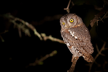 A scops owl, Otus scops, at night, perched on branch, alert, yellow eyes, Londolozi Game Reserve, Sabi Sands, Greater Kruger National Park, South Africa