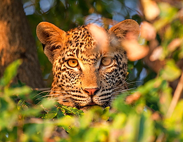 A leopard's head, Panthera pardus, alert, looking through leaves, Londolozi Game Reserve, Sabi Sands, Greater Kruger National Park, South Africa