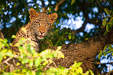 A leopard cub's head, Panthera pardus, sitting in a tree, alert, tongue out, leaves in foreground, Londolozi Game Reserve, Sabi Sands, Greater Kruger National Park, South Africa