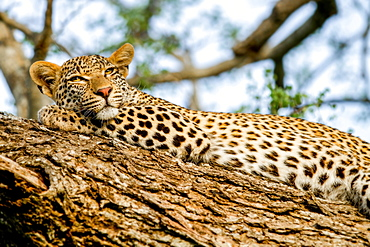 A leopard, Panthera pardus, lies on a tree, rests head on leg, alert, yellow eyes, Londolozi Game Reserve, Sabi Sands, Greater Kruger National Park, South Africa