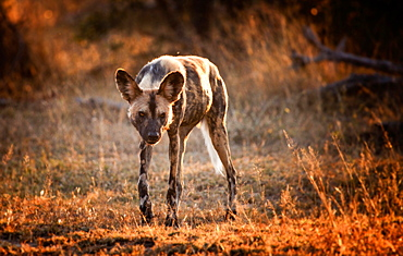 An African wild dog, Lycaon pictus, walks towards camera, backlit, looking away, grass in sunlight, Londolozi Game Reserve, Sabi Sands, Greater Kruger National Park, South Africa