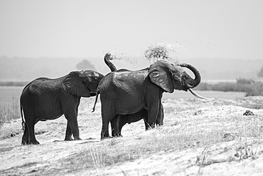 A herd of elephant, Loxodonta africana, stand on the bank of a river, spray sand over their back with their trunks, in black and white, Londolozi Game Reserve, Sabi Sands, Greater Kruger National Park, South Africa
