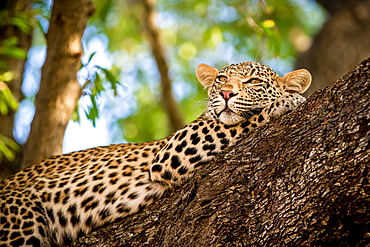 A leopard, Panthera pardus, lies in a tree, resting head on front leg, looking away, greenery in background, Londolozi Game Reserve, Sabi Sands, Greater Kruger National Park, South Africa