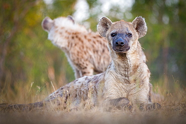 A spotted hyena, Crocuta crocuta, alert, lies in grass, scarred eye, hyena in background, Londolozi Game Reserve, Sabi Sands, Greater Kruger National Park, South Africa