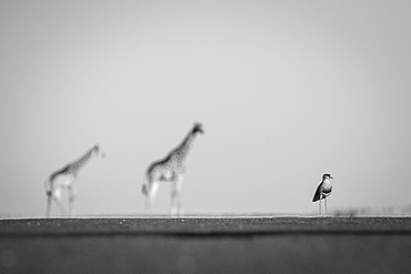 A crowned lapwing, Vanellus coronatus, stands on level ground, two giraffe, Giraffa camelopardalis, stand blurred in the background, in black and white, Londolozi Game Reserve, Sabi Sands, Greater Kruger National Park, South Africa