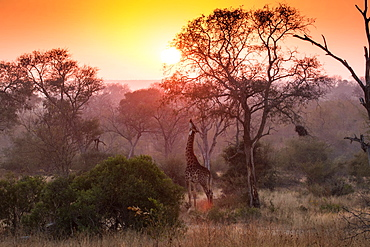A giraffe, Giraffa camelopardalis, reaches up and eats from a tree, sunset and tree silhouettes in the background, Londolozi Game Reserve, Sabi Sands, Greater Kruger National Park, South Africa