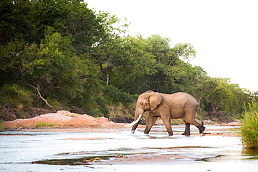 An elephant, Loxodonta africana, with long tusks walks across a shallow river, trunk in water, looking away, trees in background, Londolozi Game Reserve, Sabi Sands, Greater Kruger National Park, South Africa