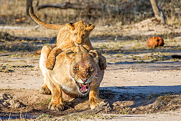 A lion cub, Panthera leo, lies on the back on a lioness, gripping her around the shoulders, the lioness bends down and snarls, open mouth, with a bloody face, Londolozi Game Reserve, Sabi Sands, Greater Kruger National Park, South Africa