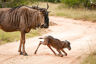 A mother wildebeest, Connochaetes taurinus, stands above her newly born calf who kneels on the road, looking away, Londolozi Game Reserve, Sabi Sands, Greater Kruger National Park, South Africa