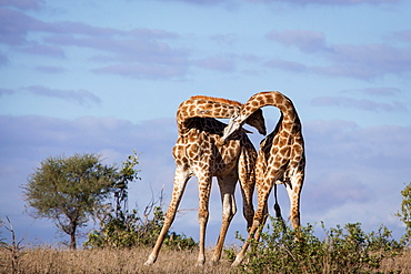 Two giraffe, Giraffa camelopardalis, necking each other, blue sky background, Londolozi Game Reserve, Sabi Sands, Greater Kruger National Park, South Africa