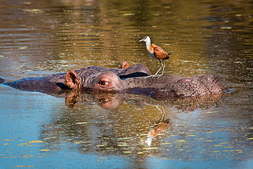 A hippopotamus's head half emerged under water, Hippopotamus amphibius, an African Jacana, Actophilornis africanus, sits on the hippos head, Londolozi Game Reserve, Sabi Sands, Greater Kruger National Park, South Africa