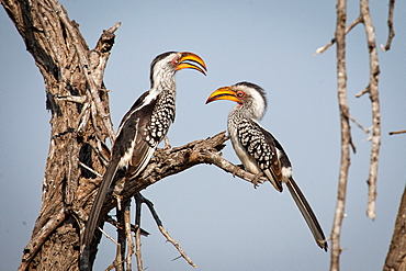 Two southern yellow-billed hornbills, Tockus leucomelas, stand on a branch and face each other, blue sky background, Londolozi Game Reserve, Sabi Sands, Greater Kruger National Park, South Africa