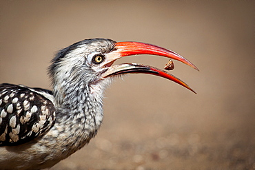 Side profile of a southern red-billed hornbill, Tockus rufirostris, beak open with seed between, looking away, Londolozi Game Reserve, Sabi Sands, Greater Kruger National Park, South Africa