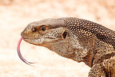 Rock monitor lizard's head, Varanus albigularis, tongue out, sand background, Londolozi Game Reserve, Sabi Sands, Greater Kruger National Park, South Africa
