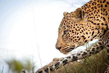 A side profile of a leopard's head, Panthera pardus, looking away, tail and blue sky in background, Londolozi Game Reserve, Sabi Sands, Greater Kruger National Park, South Africa
