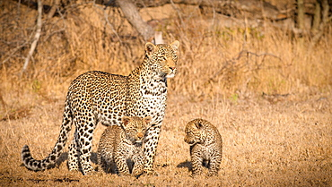 A mother leopard, Panthera pardus, stands in the sun in an open grassland, looks away, her two cubs stand beneath her, Londolozi Game Reserve, Sabi Sands, Greater Kruger National Park, South Africa