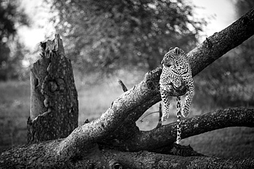 A leopard, Panthera pardus, lies on a dead and fallen tree, looking away, in black and white, Londolozi Game Reserve, Sabi Sands, Greater Kruger National Park, South Africa