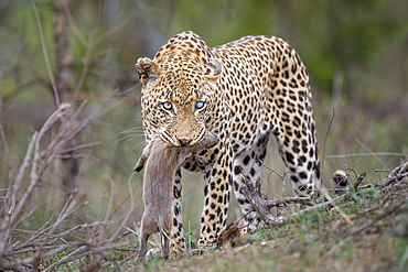 A leopard, Panthera pardus, with one blue-clouded eye, looking away, stands with a warthog piglet in its mouth, Phacochoerus africanus, Londolozi Game Reserve, Sabi Sands, Greater Kruger National Park, South Africa
