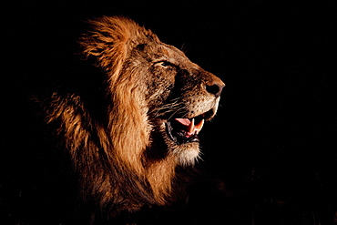 A side profile of a male lion's head, Panthera leo, open mouth, lit up by spotlight, black background, Londolozi Game Reserve, Sabi Sands, Greater Kruger National Park, South Africa