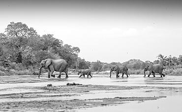 Loxodonta africana, Elephant herd crossing Sand River, Londolozi Game Reserve, Sabi Sands, Greater Kruger National Park, South Africa