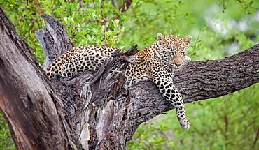 A leopard, Panthera pardus, lies in a tree, drape front leg over branch, looking away, greenery in background, Londolozi Game Reserve, Sabi Sands, Greater Kruger National Park, South Africa