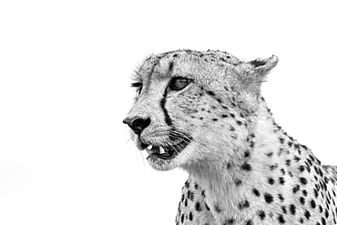 A cheetah's head, Acinonyx jubatus, looking away, ears back, mouth open, in black and white, Londolozi Game Reserve, Sabi Sands, Greater Kruger National Park, South Africa