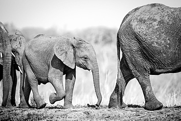 An elephant calf, Loxodonta africana, follows behind its mother, Londolozi Game Reserve, Sabi Sands, Greater Kruger National Park, South Africa
