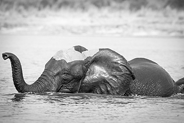 An elephant, Loxodonta africana, stands in water, wet skin, trunk curled in air, Londolozi Game Reserve, Sabi Sands, Greater Kruger National Park, South Africa