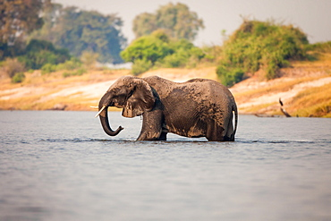 An elephant, Loxodonta africana, stands knee deep in water, wet body, trunk sprays water, looking away, Londolozi Game Reserve, Sabi Sands, Greater Kruger National Park, South Africa