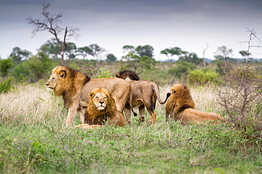 Male lions, Panthera leo, stand and lie together on green grass, looking away, Londolozi Game Reserve, Sabi Sands, Greater Kruger National Park, South Africa