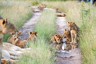 A pride of lions, Panthera leo, sit in the tracks of a road, drinking water, surrounded by green grass, Londolozi Game Reserve, Sabi Sands, Greater Kruger National Park, South Africa
