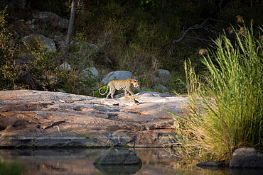 A leopard, Panthera pardus, walks across boulders against a river, curled tail, looking away, greenery in background, Londolozi Game Reserve, Sabi Sands, Greater Kruger National Park, South Africa