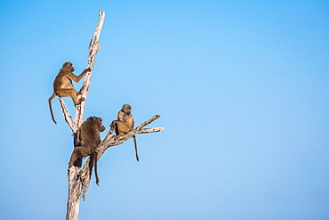 A troop of baboons, Papio ursinus, sit and climb a dead tree, looking away, blue sky background, Londolozi Game Reserve, Sabi Sands, Greater Kruger National Park, South Africa