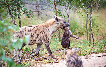 A spotted hyena mother, Crocuta crocuta, carries her cub in her mouth by its neck, looking away, cub in the foreground, Londolozi Game Reserve, Sabi Sands, Greater Kruger National Park, South Africa