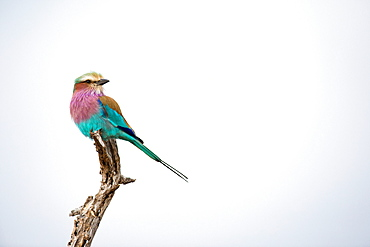 A lilac-breasted roller, Coracias caudatus, perches at the top of a dead branch, looking away, against blue grey skies, Londolozi Game Reserve, Sabi Sands, Greater Kruger National Park, South Africa